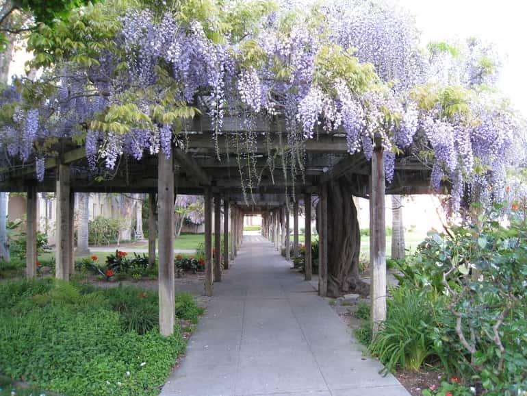 wisteria lugas