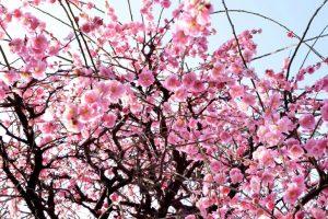 Ázsiában a rózsaszínnek erős hagyománya van, különösen Japánban, ahol a cseresznyefa virágzását külön is megünneplik.
