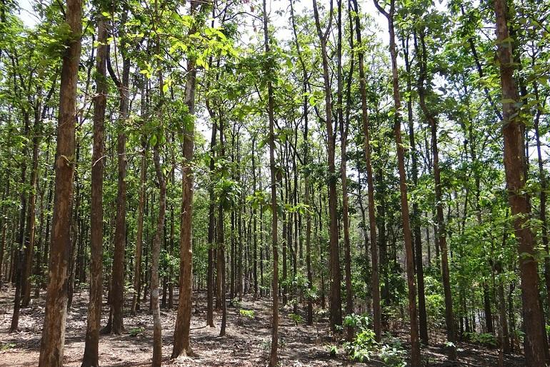 Délkelet-Ázsia erdeiben növekszik a legjobb minőségű fa a Földön, a teakfa.