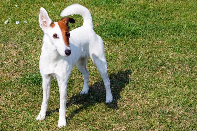 Egy foxi kutya a padlástérből is el tudja űzni a nyestet, de a kertben is jó strázsa lehet.