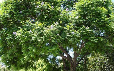 Szőlőkarótól a kerti bútorokig – az akác sikertörténete
