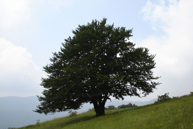 Bükkfa – a bútoripar legkeresettebb anyaga
